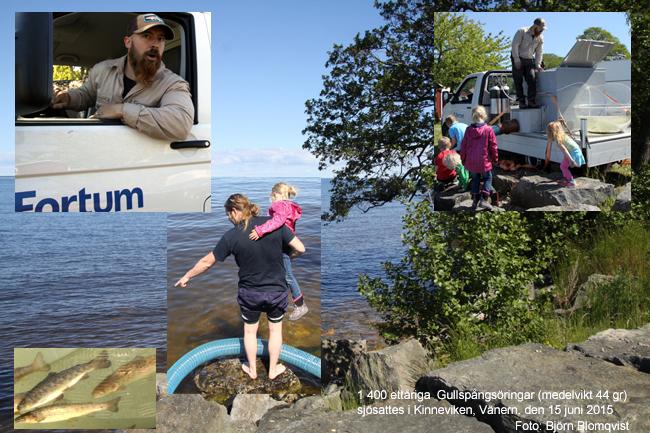ettårig gullspångsöring kinneviken vänern 15 juni 2015