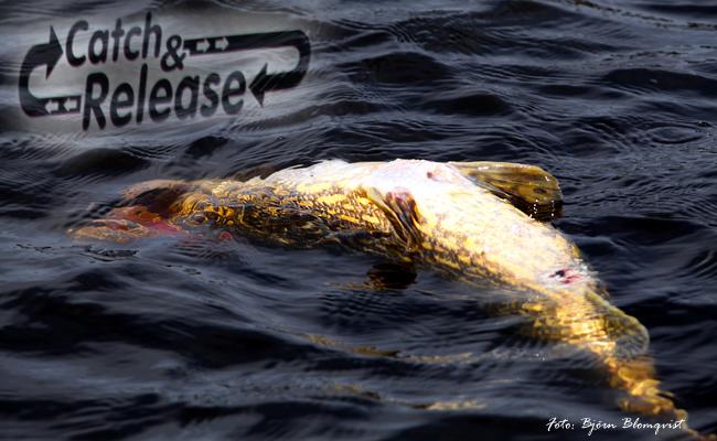 catch release killer outdoor pike big pike björn blomqvist