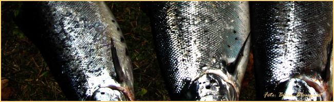 laxfiske vättern insjölax gullspånglax klippfiske landfiske outdoor björn blomqvist