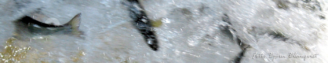 fettfena laxsmolt tvåsomrig gullspångslax insjölax