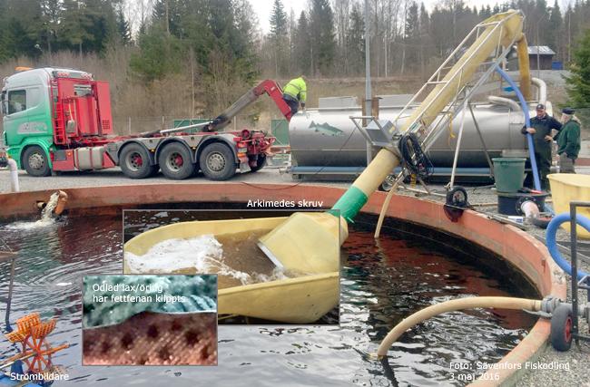 Sävenfors fiskodling laxsmolt sättfisk vänern gaperhult 3 maj 2016 10022 smolt outdoor björn blomqvist