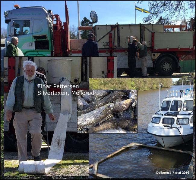 silverlaxen vänern einar pettersen mellerud gullspångsöring maj 2016 sävenfors fiskodling