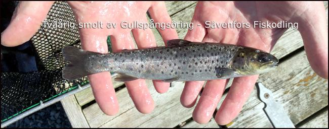smolt gullspångsöring tvåårig vänern kinneviken maj 2016 sävenfors fiskodling outdoor björn blomqvist