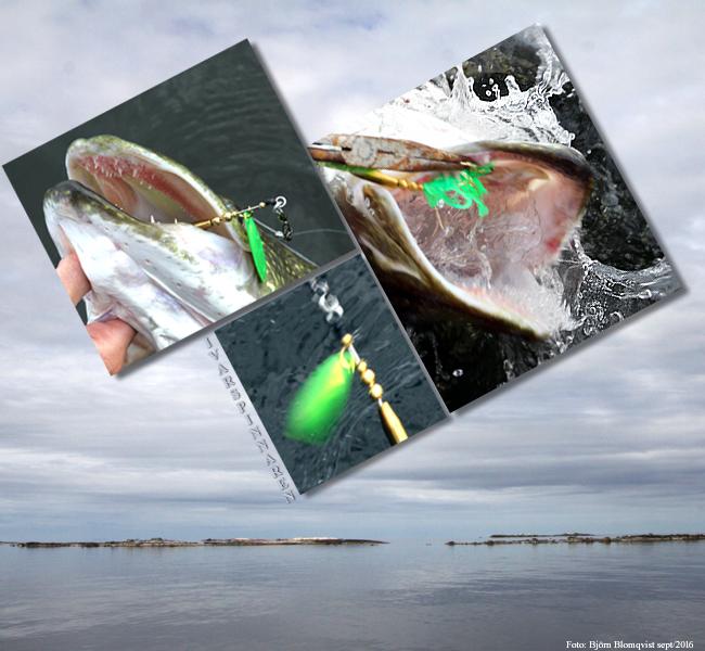ivarspinnaren-vanern-kustfiske-gadda-storgadda-metergadda-bjorn-blomqvist