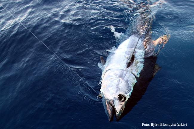 blafenstuna-tonfisk-outdoor-se-bjorn-blomqvist