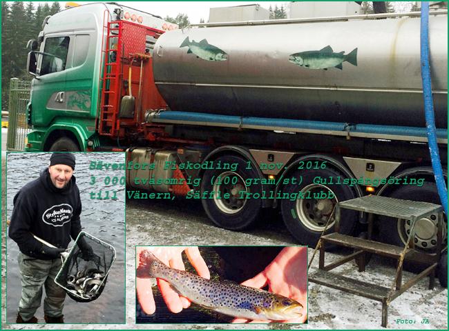 oring-gullspangsoring-tvasomrig-sattfisk-savenfors-fiskodling-100-gram-styck-1-november-2016-saffle-trollingklubb-vanern