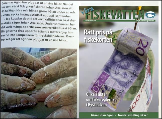 catch-release-vertikalfiske-barotrauma-trycksjuka-dykarsjuka-ogonlos-gos-glan-vara-fiskevatten-nr-4-2016