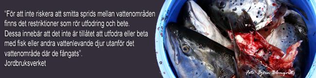 fisk som kräftbete fiska kräftor flytta fisk agn kräftbur vättern