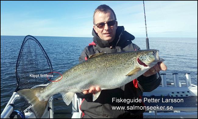 laxfiske vänern trollingfiske klipp fettfenaSalmonseeker.se petter larsson fiskeguide vänern