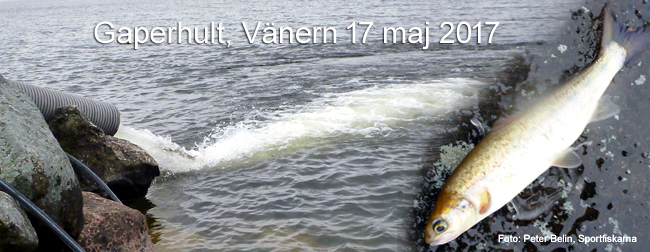 Gaperhult Vänern smolt gullspångslax peter belin sportfiskarna