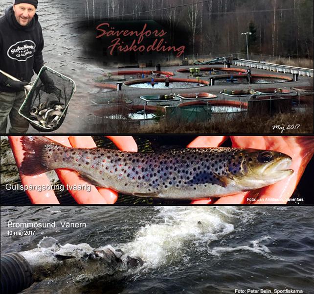 Sportfiskarna Sävenfors Fiskodling sättfisk smolt gullspångsöring gullspångslax Vänern Laxhall Brommösund