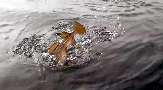 hälleflundra slukar torsk i ytan Röst Røst fishing Camp 20 maj 2017