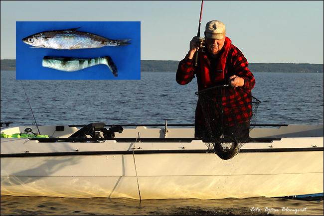 jigg löja jiggfiske abborre håv jiggfiske karl magnusson september 2017 björn blomqvist