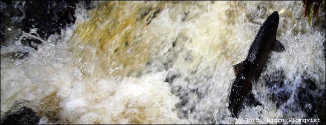 01 vätteröring leköring öring insjööring lekfisk lekgrop björn blomqvist