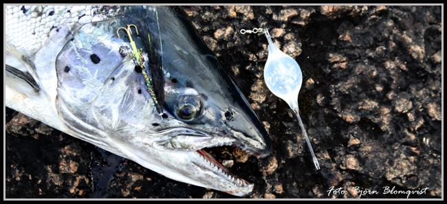 laxfiske vättern lax kustfiske fiska från land klippfiske gullspångslax björn blomqvist