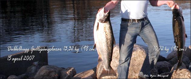 Dubbelhugg Gullspångslaxar 13,32 kg (98 cm) & 10,72 kg (92 cm) 15 april 2007 outdoor björn blomqvist trolling laxfiske