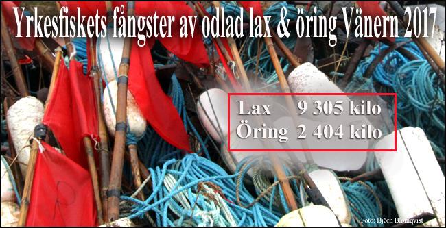 yrkesfiske-vänern-2017 -lax-öring-odlad-fisk-outdoor-björn-blomqvist