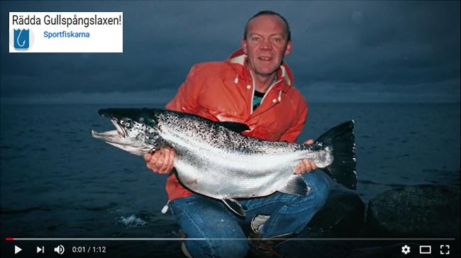rädda gullspångslaxen sportfiskarna mars 2018 foto björn blomqvist rekordlax 17,65 kg 8 december 1990