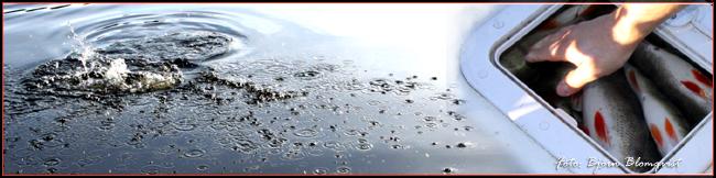 vak abborrvak storfångst abborre släpp åter matfisk outdoor björn blomqvist